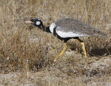 El gallo lira es una de las especies en extinción.
