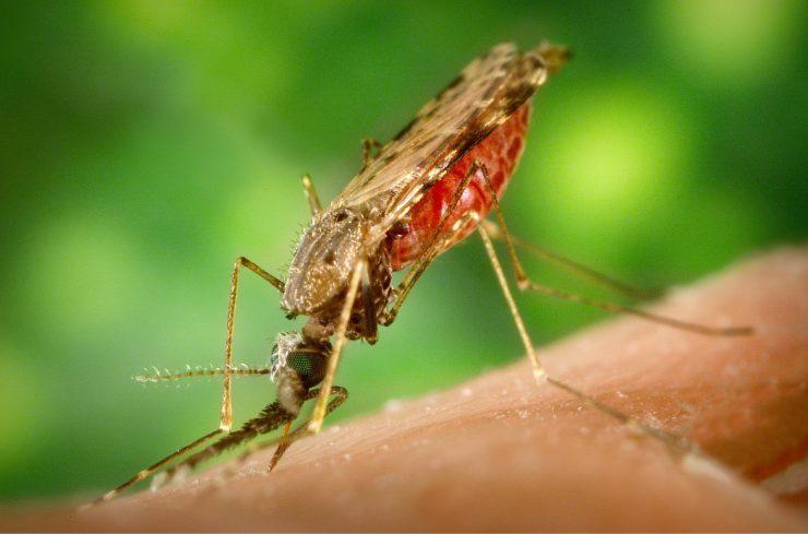 Familia de Anopheles gambie, mosquito transmisor de la malaria.