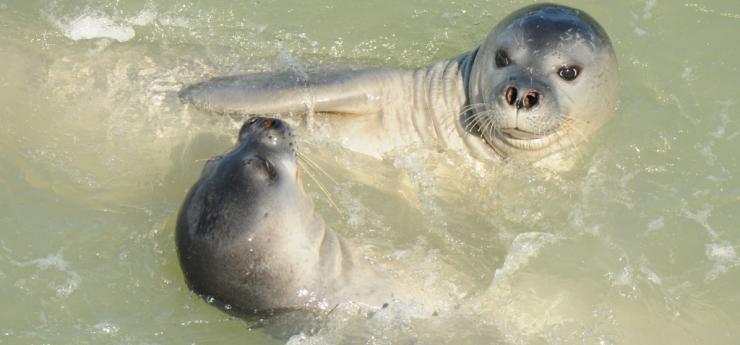 La Administración ultima el plan para reintroducir la foca monje en las islas, de donde se extinguió. Subadultos de foca monje jugando.M. A. Cedenilla. CBD-Habitat
