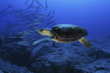 Las estrategias marinas de España buscan proteger los fondos y las especies que los habitan, como esta tortuga boba. Foto Carlos Minguell, Oceana
