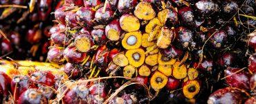 Wilmar International anuncia que controlará a sus proveedores de aceite de palma para evitar que fomenten la deforestación.
