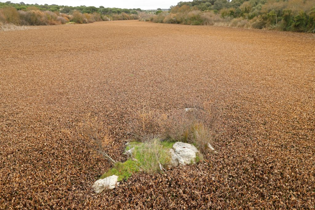 El control del camalote o jacinto de agua en Portugal amenaza con causar enormes pérdidas económicas y ambientales. EFE/J.J.Guillen