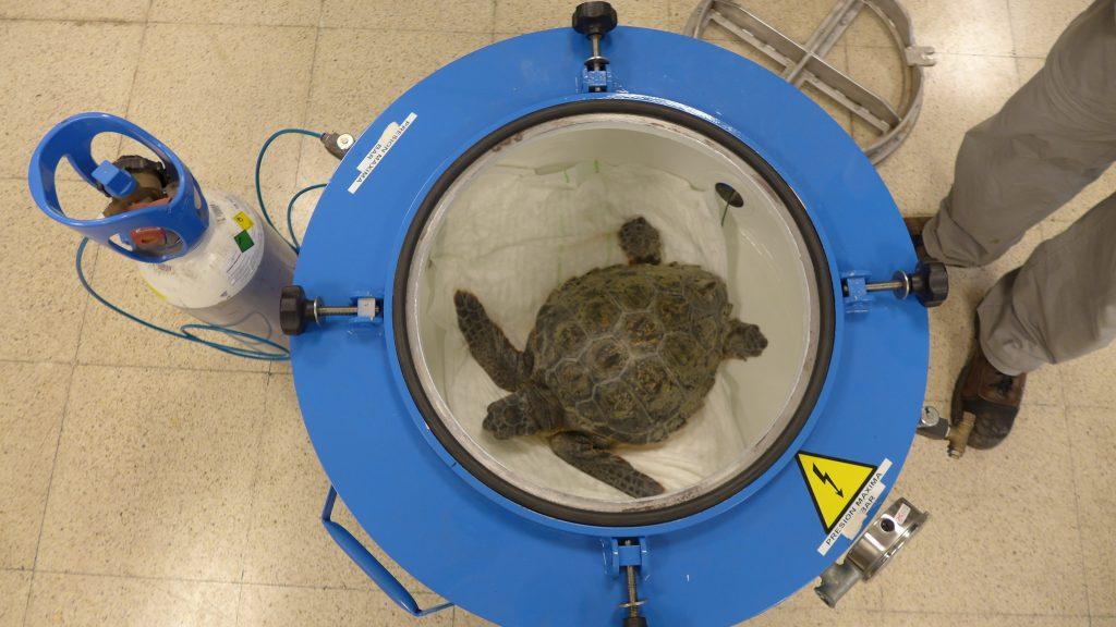 Cuando se detecta que las tortugas tienen una embolia gaseosa se las introduce en una cámara hiperbárica para su recuperación.