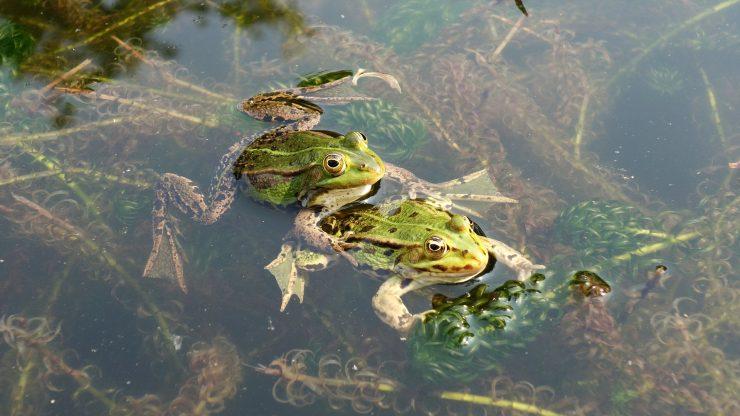 Las peculiaridades de la vida sexual de anfibios y reptiles, unos animales poco amorosos que suplen su falta de romanticismo con una mayor posibilidad de tener éxito reproductivo.