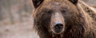 Los ataques de una hembra de oso pardo en Navarra, protagoniza el debate entre Francia y España sobre los Pirineos