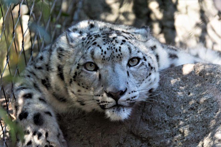 Los leopardos representan tan solo una del millón de especies en peligro de extinción