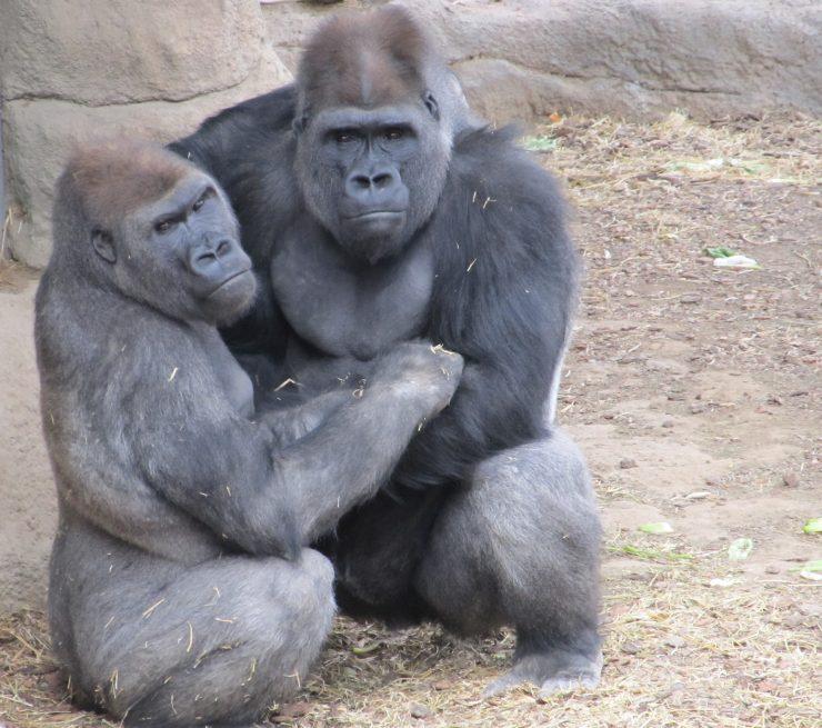 Por su proximidad con los humanos, el virus podía mutar fácilmente y afectar a estos simios, muchos de los cuales ya están en peligro de extinción.