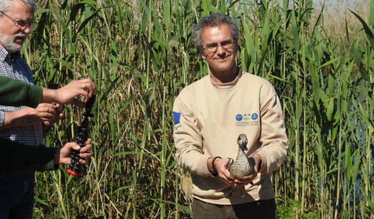 Suelta de ejemplares de cerceta pardilla en el Clot de Galvany Fuente: Ayuntamiento Elche