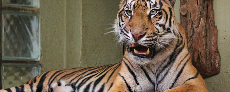 Hay seis grandes felinos del zoológico del Bronx que se han puesto enfermos, probablemente contagiados por un trabajador asintomático