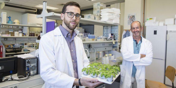 Una investigación sobre mejora genética del laboratorio de Aurelio Gómez para la Universitat Jaume I averigua los mecanismos para obtener plantas con mayor capacidad.