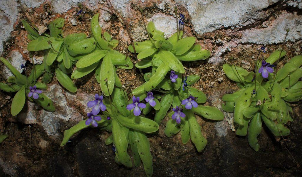 Plantas carnívoras: 'Pinguicula casperiana'