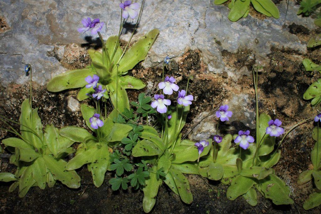 Planta carnívoras: 'Pinguicula tejedensis'