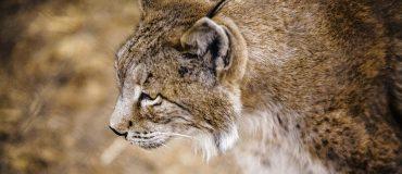 La recuperación del lince ibérico es de las pocas excepciones a la grave situación de los hábitats protegidos en la UE