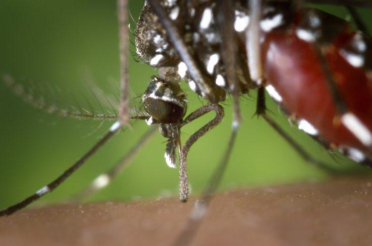 Este año ha habido el doble de mosquitos tigre en el Estado que el año anterior, según el proyecto Mosquito Alert. En las dos últimas semanas la plataforma ha recibido más de 250 observaciones confirmadas.