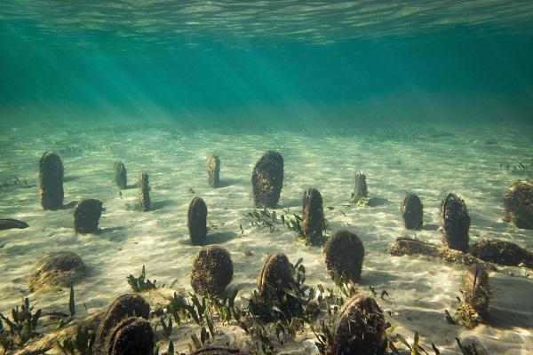 Ejemplares de nacras en la bahía de los Alfaques. Foto: Irta