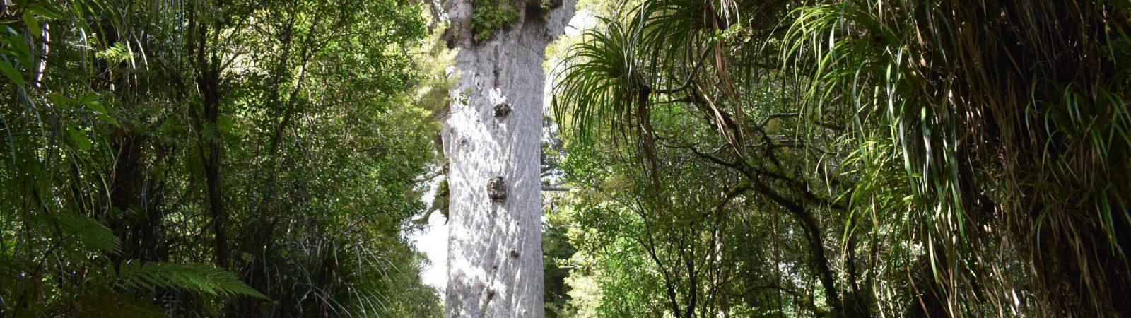 Los troncos de los kauris, unos árboles australianos, encontrados en un pantano reflejan el impacto de la inversión magnética de los polos. Foto: Yathursan Gunaratnam