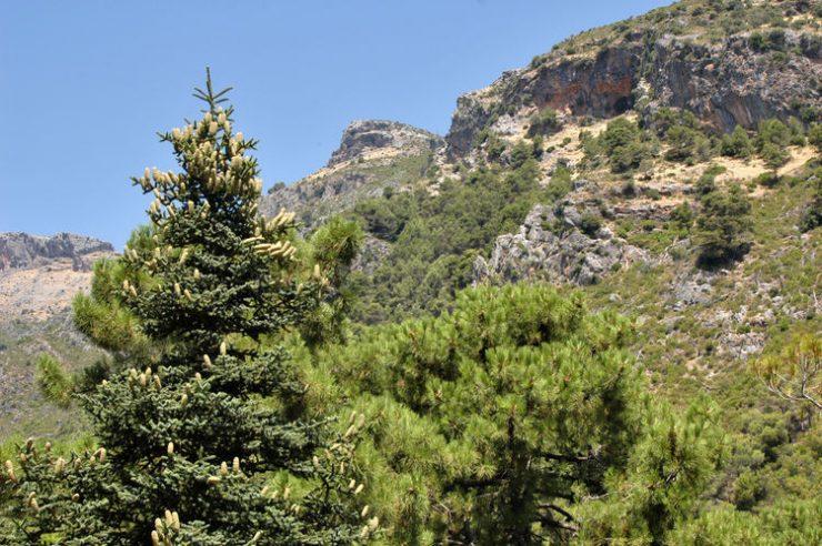 La nueva incorporación al sistema de territorios protegidos del Estado abarca 23 000 hectáreas en Málaga. Así es el pinsapo de Sierra de las Nieves.